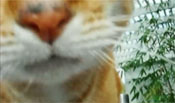 Rufus nose
